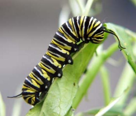 Caterpillar Stage