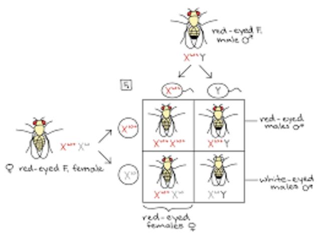 Drosophila melanogaster (fruit fly) and sex-linkage
