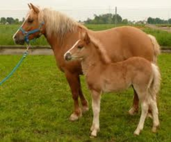 First Cloned Horse