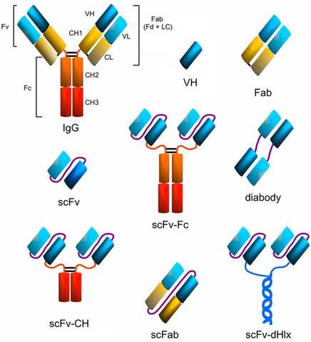 Anticuerpos recombinantes.