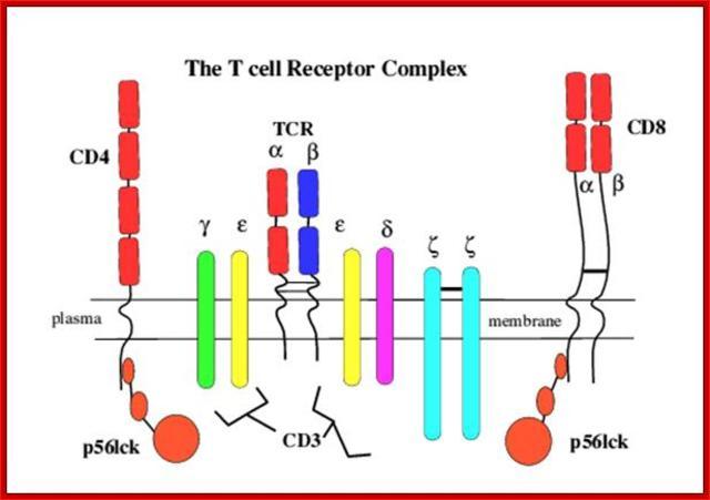 Complejos CD4- y CD8-p56lck.