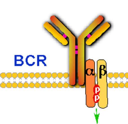 Igα e Igβ de BCR.