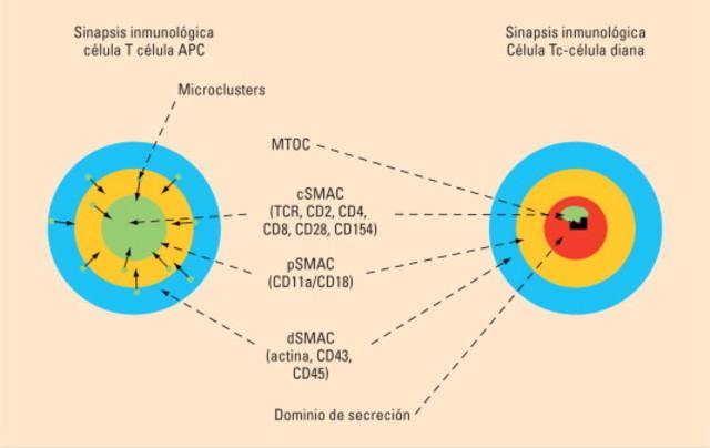 Sinapsis Inmunologíca.