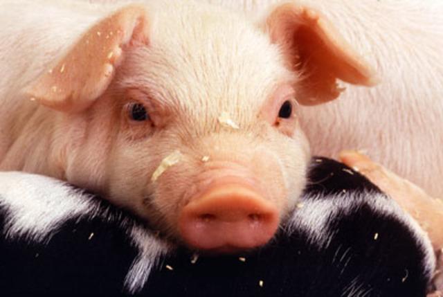 Segunda pandemia de gripe porcina.