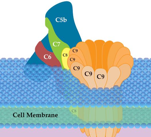Sistema de complemento y sinapsis.