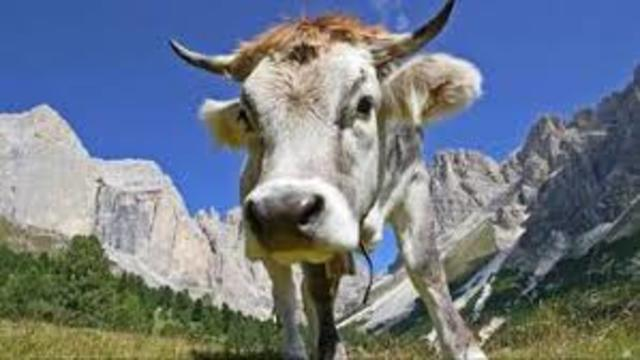 Mucca, mucca delle mie brame..