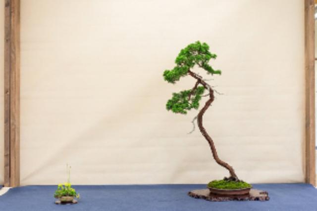 Summer bonsai Festival