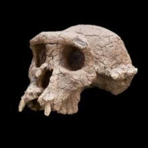 Discovery of the Sahelanthropus Tchadensis fossil