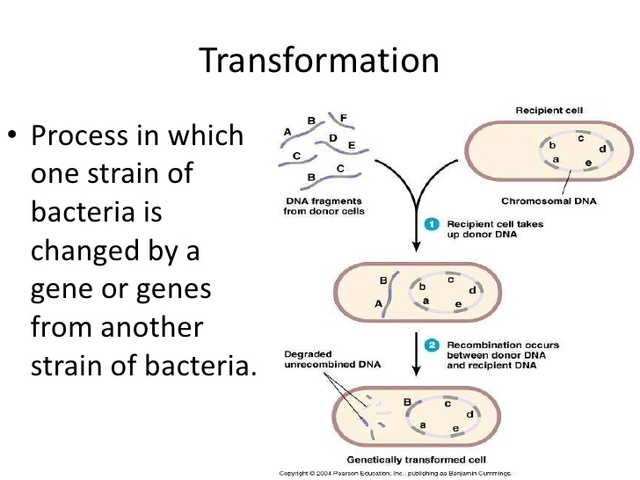 Frederick Griffith describes the process of transformation