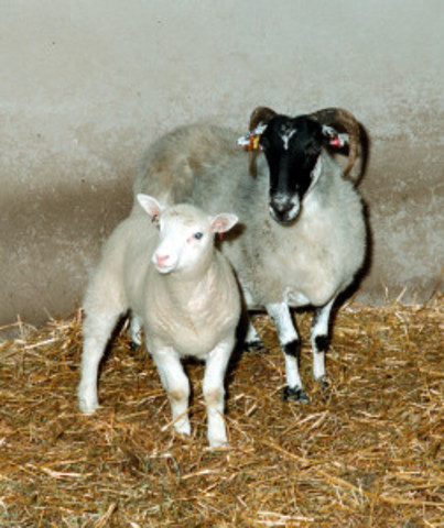 Dolly the sheep is cloned
