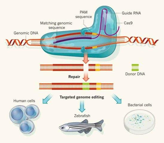 CRISPR\CAS9