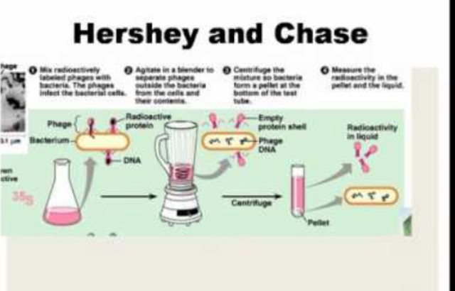 Hershey-Chase experiments are published