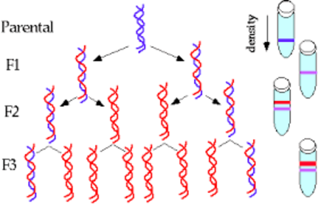 Meselson and Sthl work on DNA replication