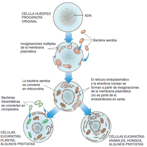 Modelo endisimbionte propuesto por Lynn Margulis  (1938-2011)