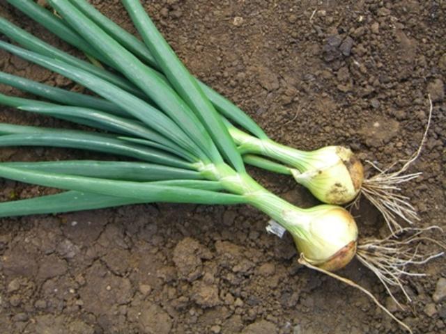 Mountain onion?