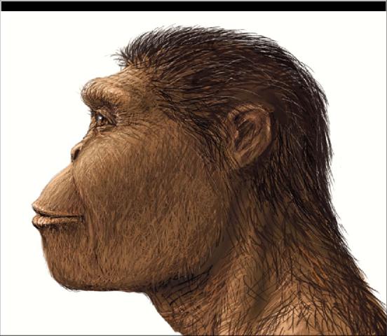 Austrolopithecus robustus