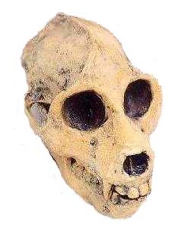 Propliopithecides
