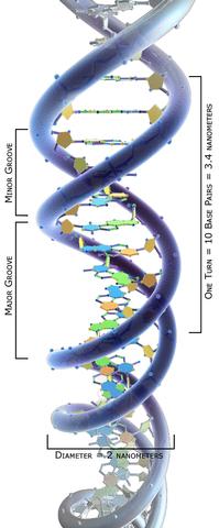 ESTRUCTURA DOBLE ELICE ADN