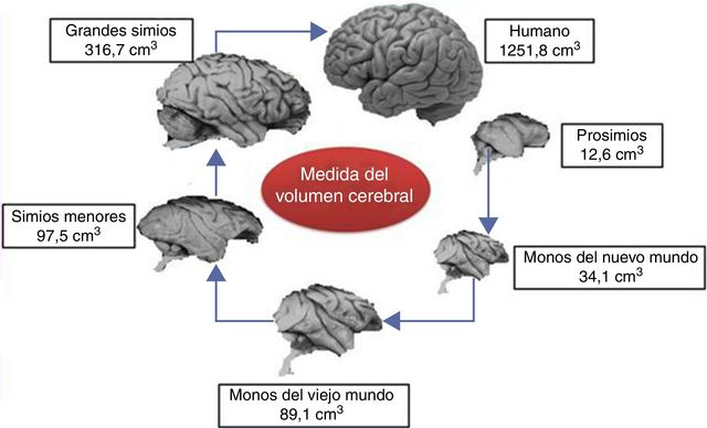 Primer cerebro