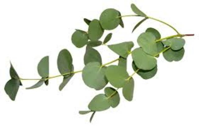 Biotech Eucalyptus