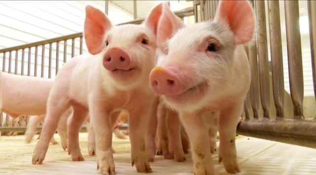 Deixen pasasar als porcs