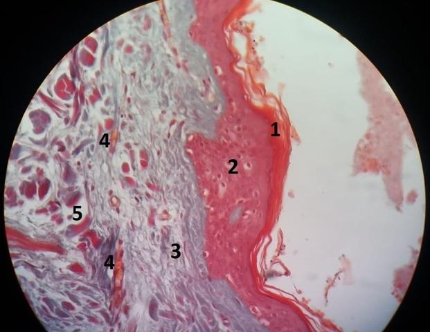 Aula 2: Tecido Epitelial Glandular