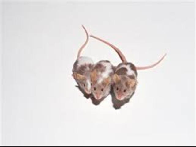 Mice are Cloned