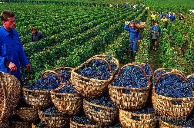 Возрождение виноделия.