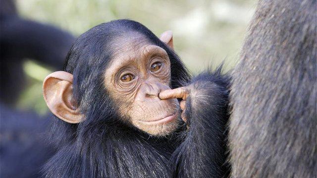 la llegada del simio.