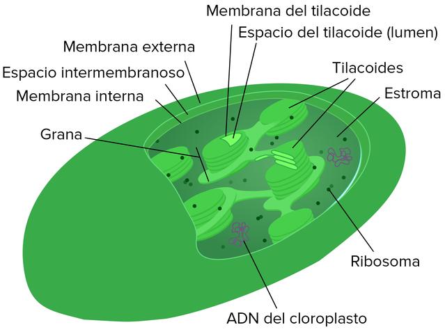 Origen del cloroplasto por simbiosis