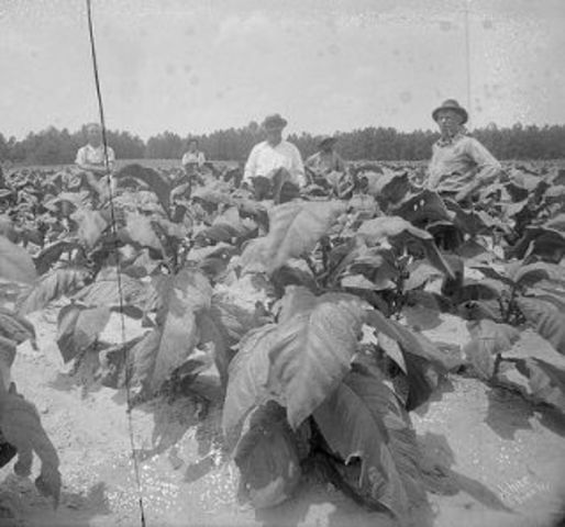 Tobacco becomes an important crop in North Carolina