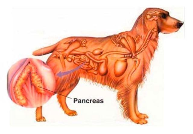 Produciendo diabetes en perros