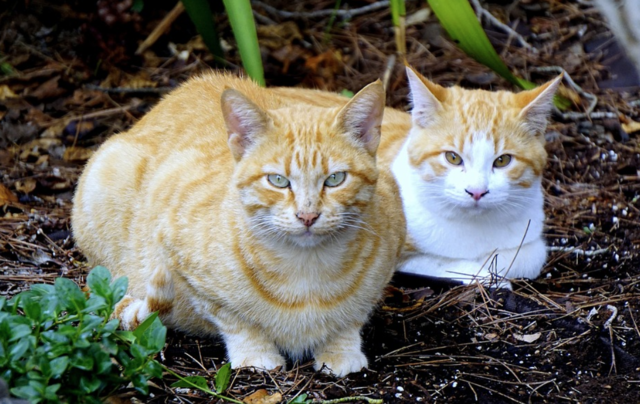 Cat laws a drain on council resources