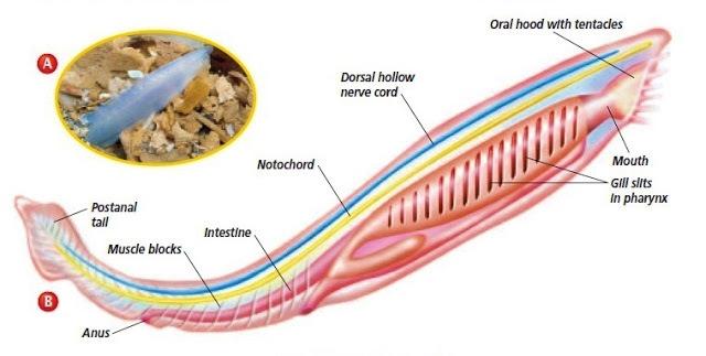 Médula espinal (Desarrollo)