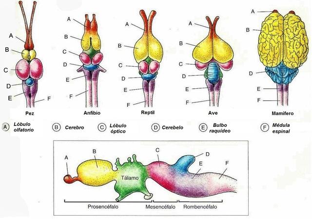 Tronco del encéfalo, diencéfalo, cerebelo y sus capas