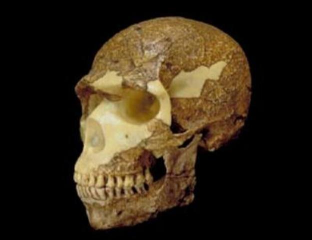 Homo Sapiens (Apareix fa 150.000)