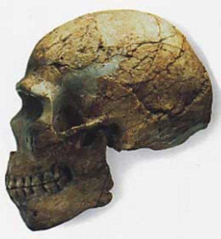 Homo sapiens (fa aproximadament 200.000 anys)