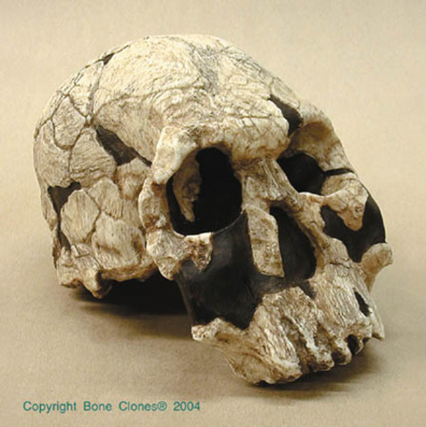Homo Rudolfensis (fa entre 2,4 i 1,9 milions d'anys)