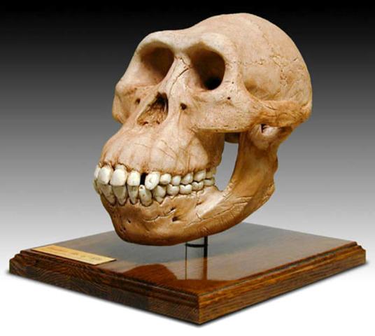 Australopithecus Garhi (fa aproximada de 2'5 milions d'anys)