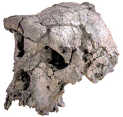 Toumaï (fa uns 7 milions d'anys)