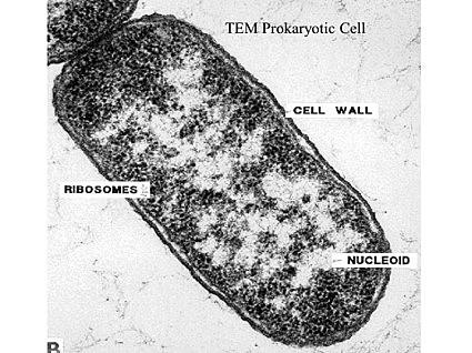 Aparició de la cèl·lula primitiva
