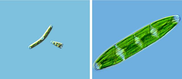 Primer organisme unicel·lular que surt del medi aquàtic i colonitza zones humides.