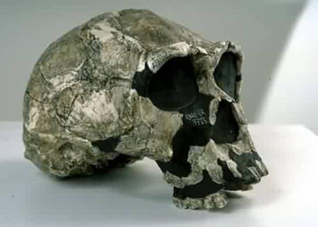 Homo Ergaster ( 2 millions d'anys)