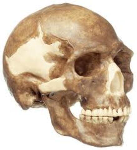 Homo Sapiens ( fa uns 250.000 anys)