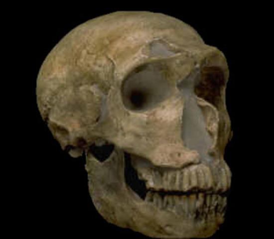 Homo neandertal (fa entre 120000 i 300000 anys)