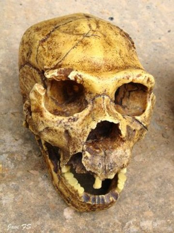 Homo heidelbergensis  (fa uns 800.000 anys)