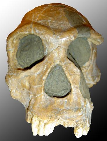 Homo habilis (fa entre 1.500 i 2.000 milions d'anys aprox.)