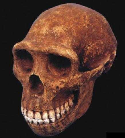 Homo erectus ( fa uns 1.8 milions d'anys)