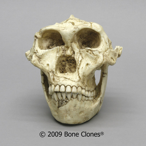 Australopithecus robustus ( fa entre 1500 i 2000 milions d'anys approx.)