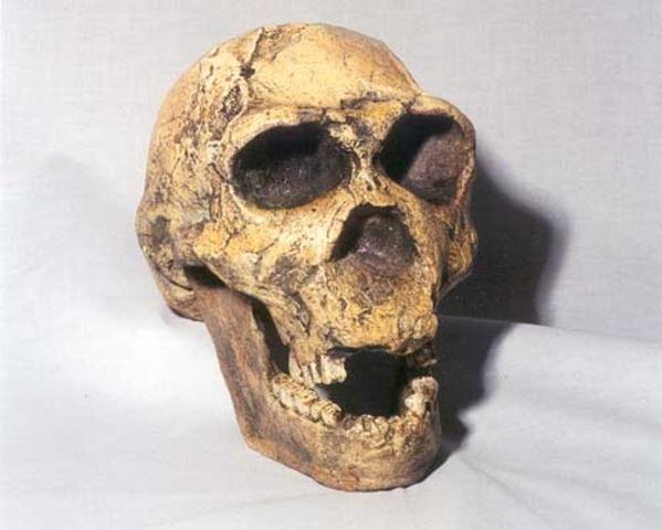 Homo ergaster ( fa uns 2.000 milions d'anys)